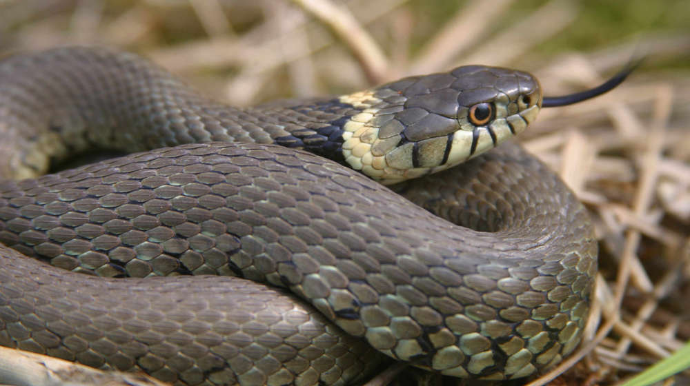 Healthy grass snake