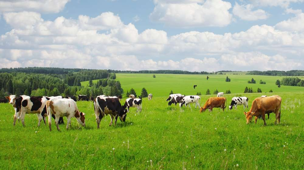 Cows in UK field