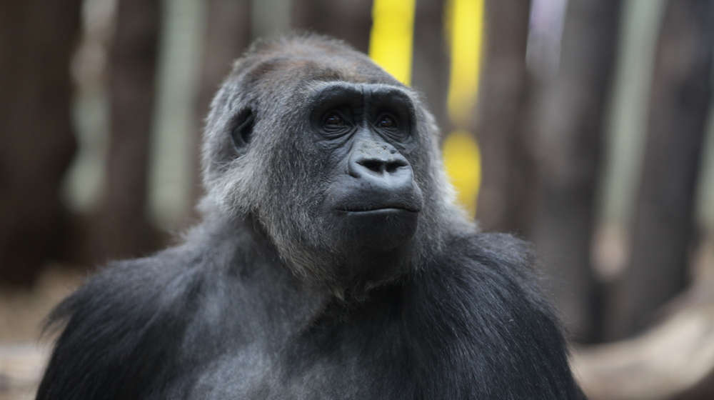 Effie the Gorilla at ZSL London Zoo