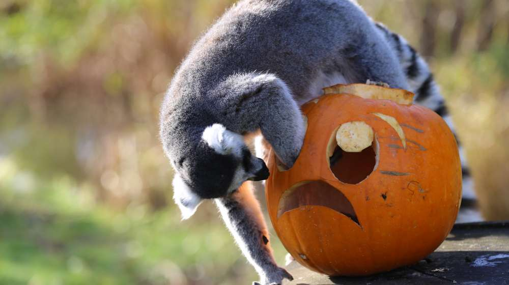 A ring tailed-lemur plays with a Halloween pumpkin enrichment at ZSL Whipsnade Zoo