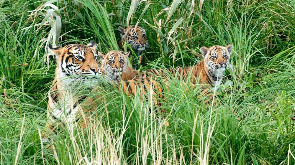 trio of tiger cubs with Melati