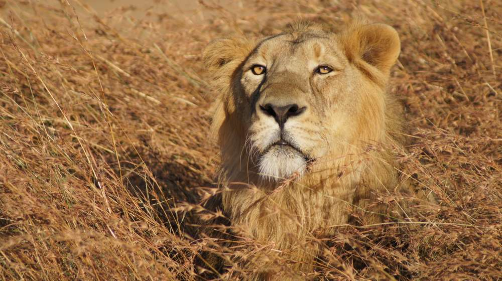 Asian lion in Gir forest India