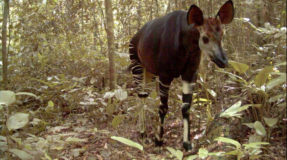 Okapi camera trap image ZSL-ICCN Virunga National Park