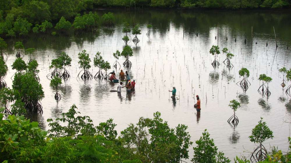 Mangroves being planted by ZSL