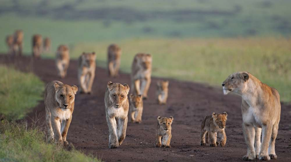 African Lionesses (Panthera leo) with their cubs aged 3-6 months walking along a track