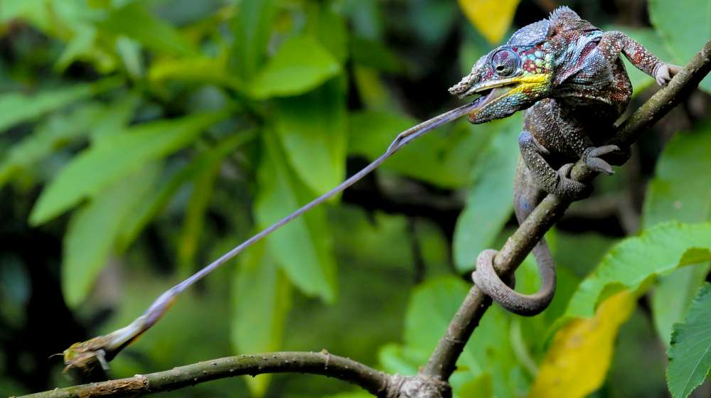 Panther Chameleon - ZSL Animal Photography Prize