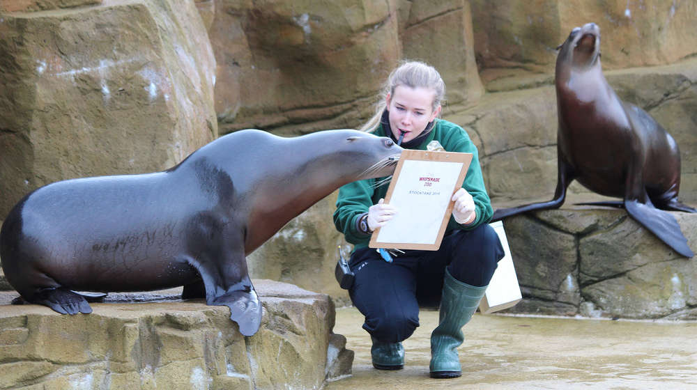 Sea Lions are counted as part of the annual stocktake at ZSL Whipsnade Zoo