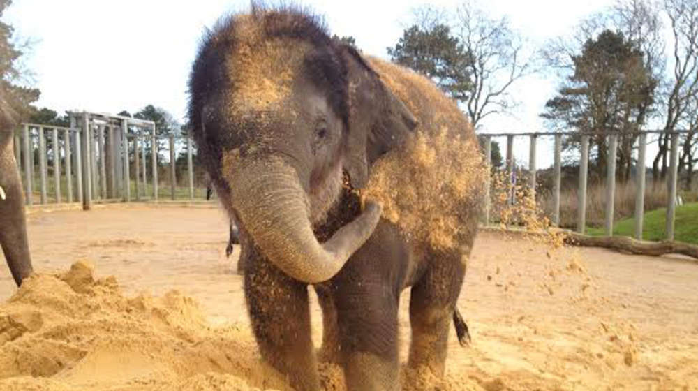 Max the elephant has a sand bath