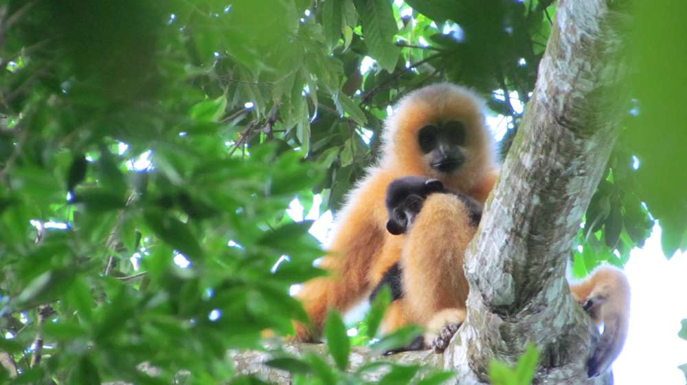 Hainan gibbon mother and infant. Image (c) Jessica Bryant