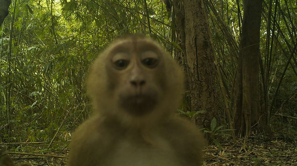 Camera trap image of a macaque, Thailand