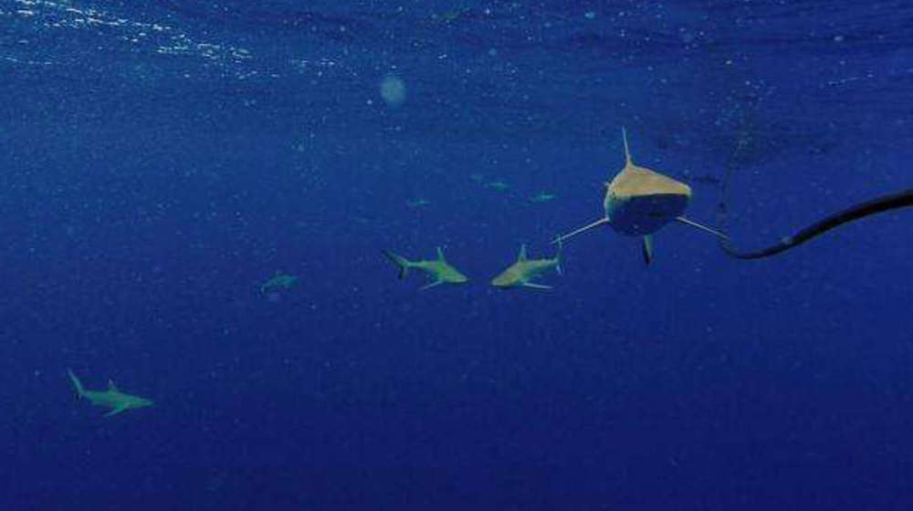 Grey reef sharks follow the bait in Chagos during tagging study