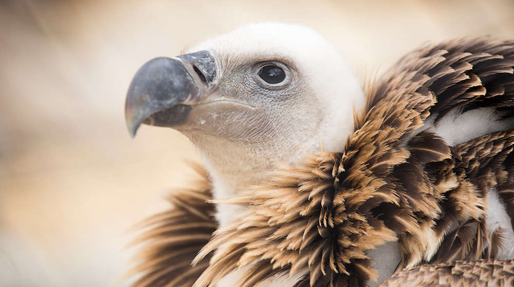 See our beautiful Ruppell's griffon vultures