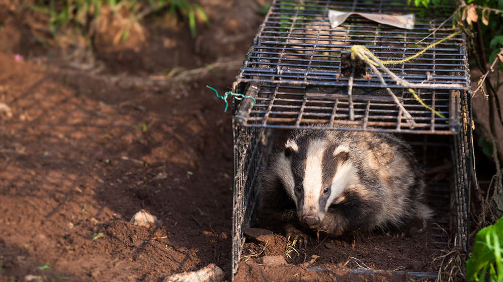 Badger tracking release