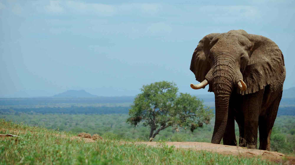 African elephant in Kenya