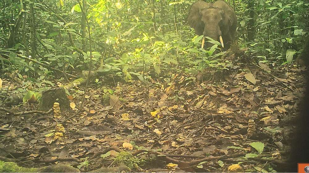 Forest elephant in Cameroon