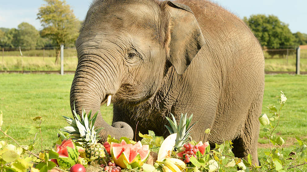 Sam Asian elephant with birthday buffet