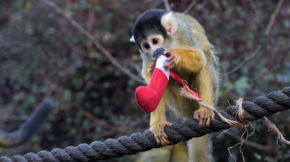 Squirrel monkey with stocking at ZSL London Zoo
