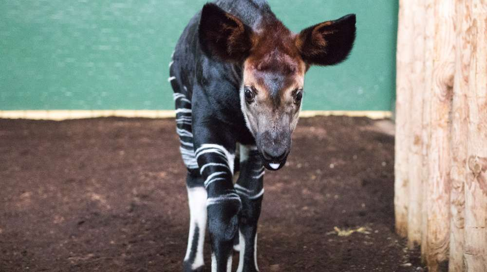 Meghan the okapi at ZSL London Zoo