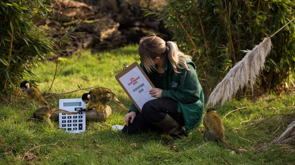 Counting the squirrel monkeys at the ZSL Whipsnade Zoo Annual Stocktake