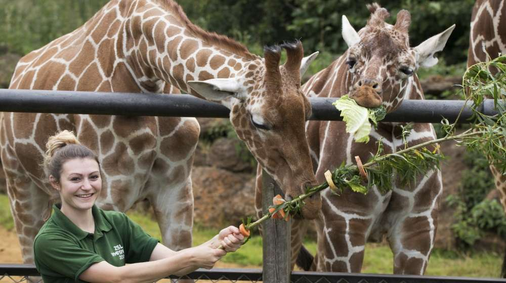 Giraffes at ZSL Whipsnade Zoo are treated to street-food style feast