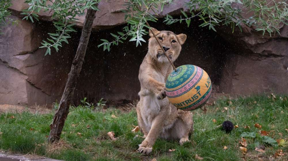 Asiatic lion celebrating World Lion Day at ZSL London Zoo