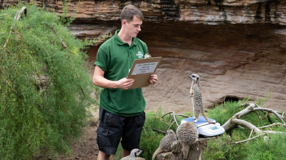 Meerkats at ZSL London Zoo for the weigh in