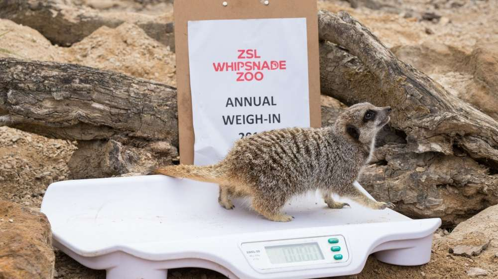 Meerkat on scales at Whipsnade Annual Weigh In