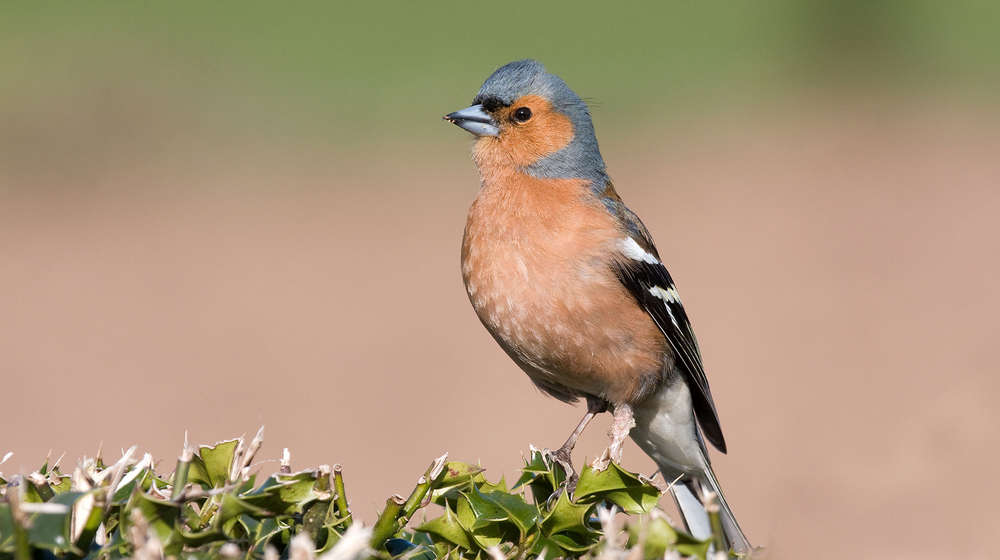 Male chaffinch perched on a fence post