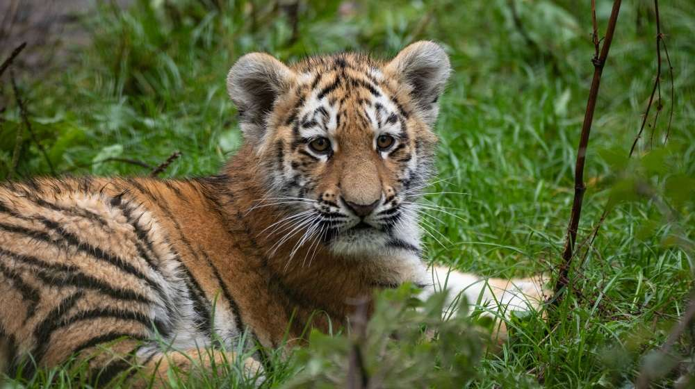 Amur tiger cub at ZSL Whipsnade Zoo