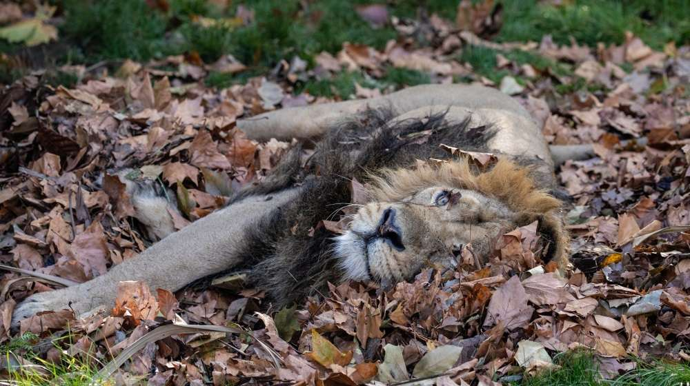 Bhanu in the leaves at ZSL London Zoo