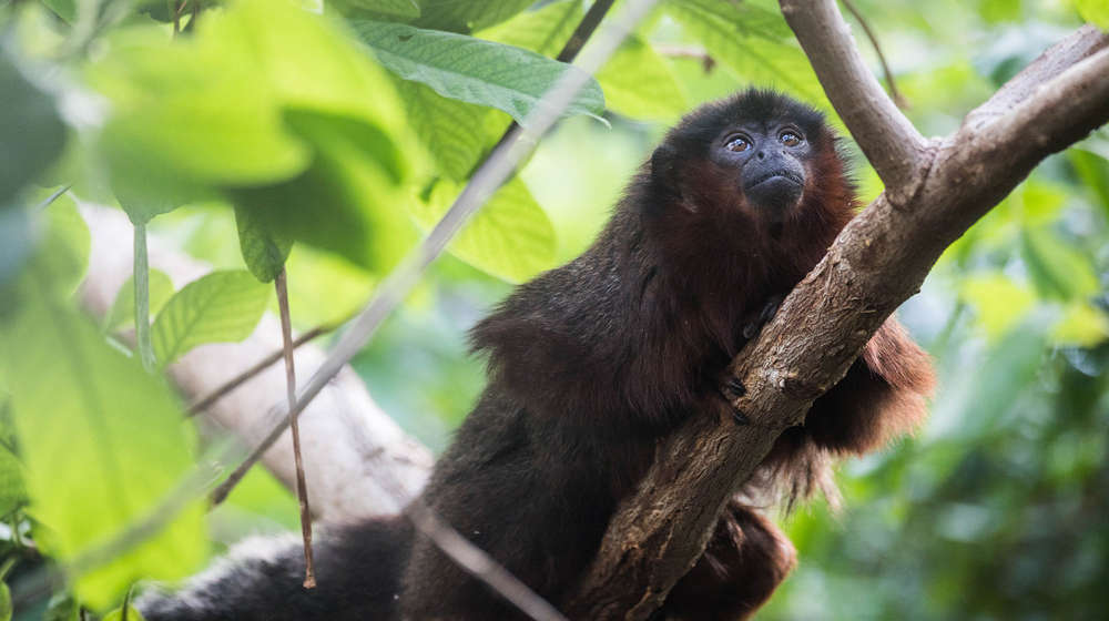 A red titi monkey on a tree branch