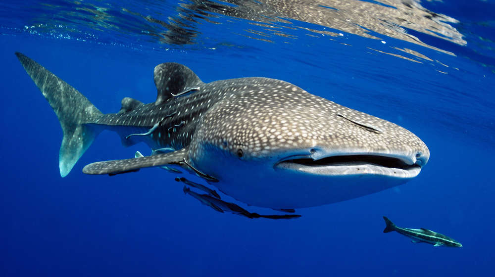 Whale shark just under the surface surrounded by smaller fish