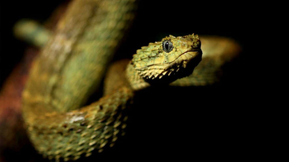 Picture of the venomous snake Atheris squamigera taken by Benjamin Tapley in Cameroon