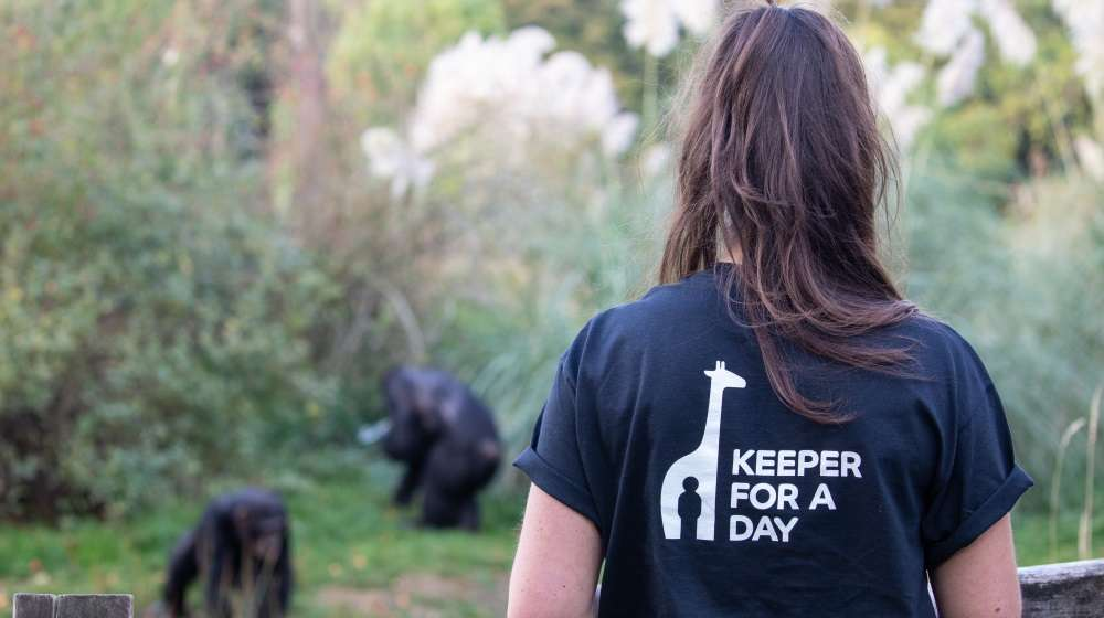 Keeper for a Day with the chimps
