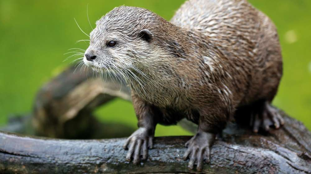 Otter cuteness at ZSL London Zoo