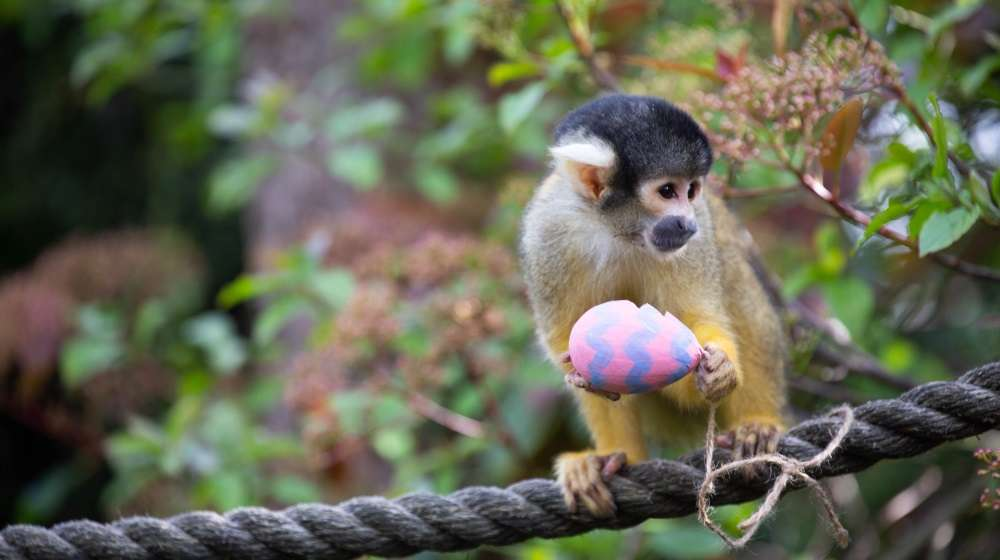 Squirrel monkeys used their acrobatic skills to get at the tasty mealworms