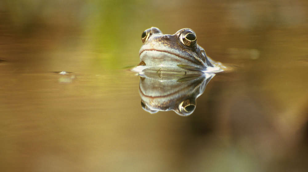 Photograph of a frog's head sticking above the surface of a pond