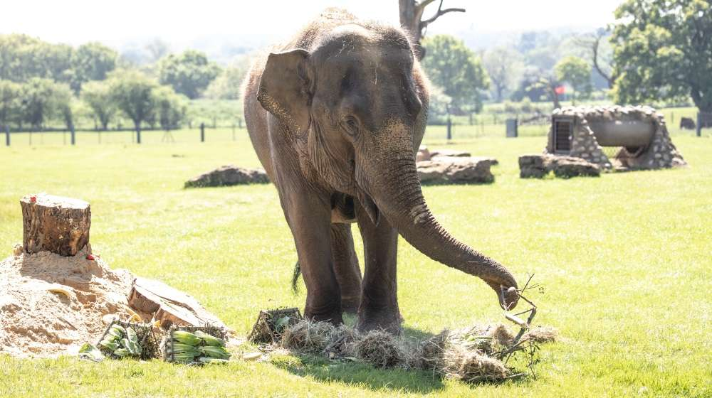 Lucha the elephant eating her birthday cake