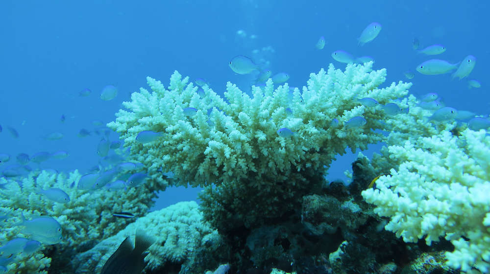 Close up underwater photo of bleached white coral with small silver fish swimming around