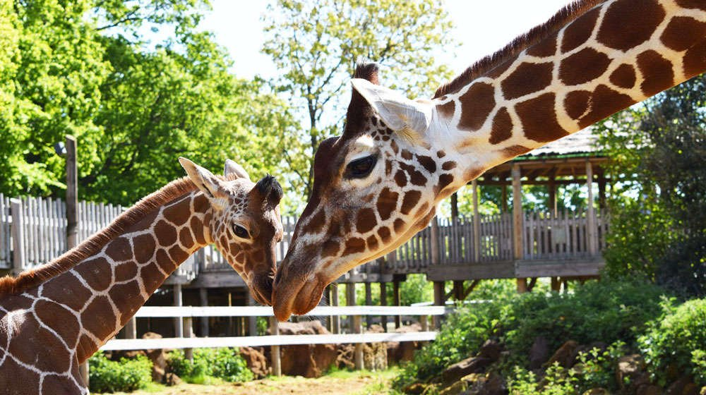Luna and Khari the giraffes at ZSL Whipsnade Zoo