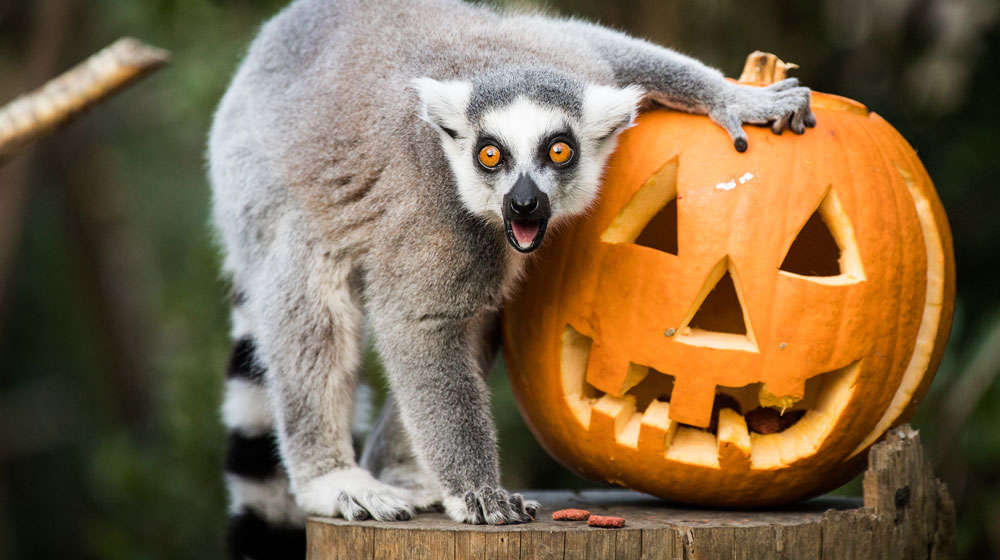 A lemur poses with a pumpkin at ZSL London Zoo
