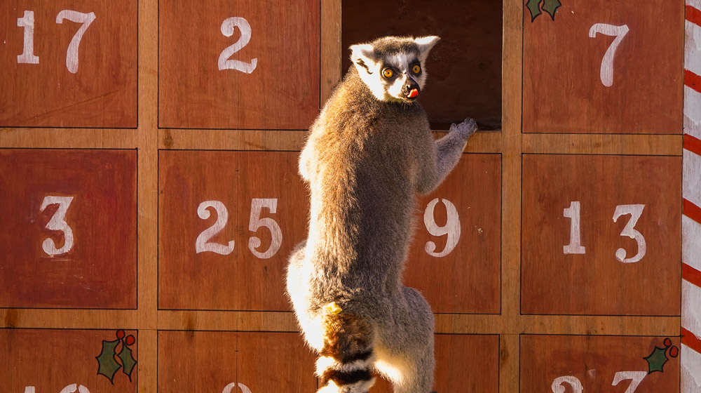 A lemur explores a Christmas advent calendar filled with tasty treats at ZSL Whipsnade Zoo