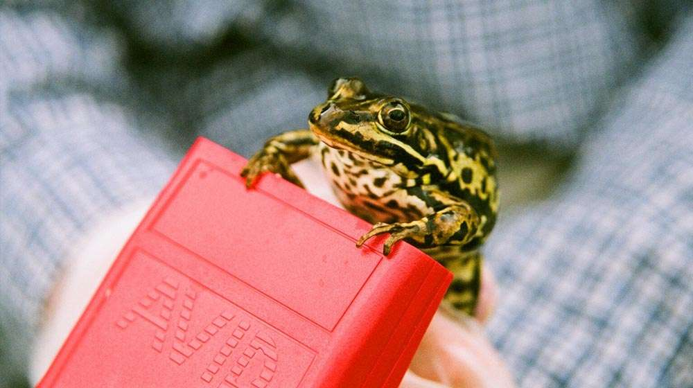 Photo - Close-up photo of a pool frog held and scanned with a small hand-held device