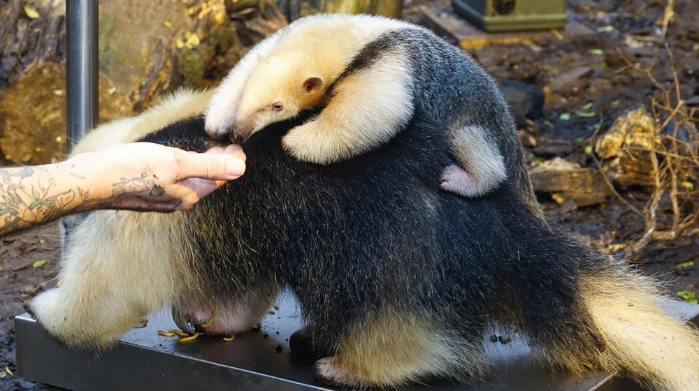 Star the baby tamandua at ZSL London Zoo