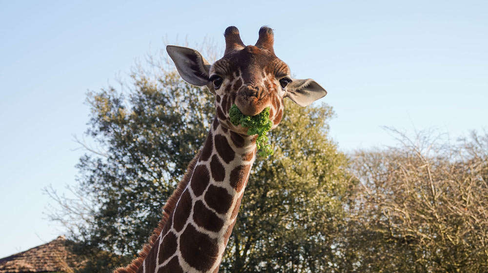 Khari the giraffe at ZSL Whipsnade Zoo