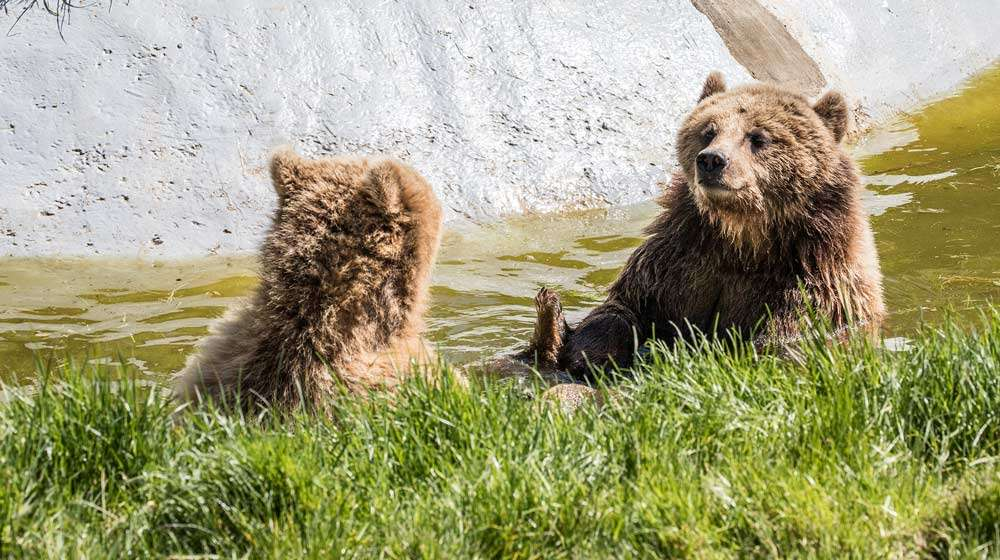 Two bears playing in the water at ZSL Whipsnade Zoo