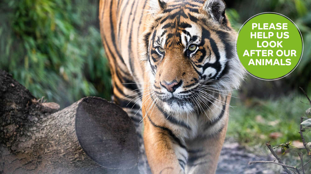 Tiger at London Zoo - please donate