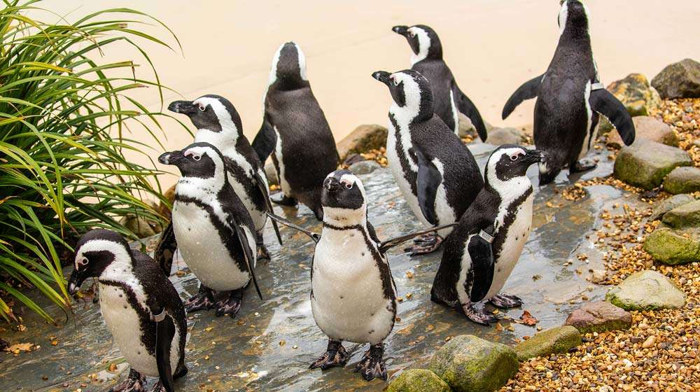 African back-footed penguins at ZSL Whipsnade Zoo