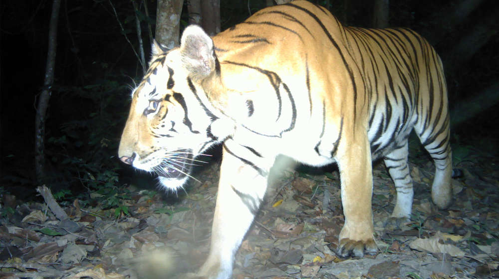 An endangered tiger in western Thailand caught on camera