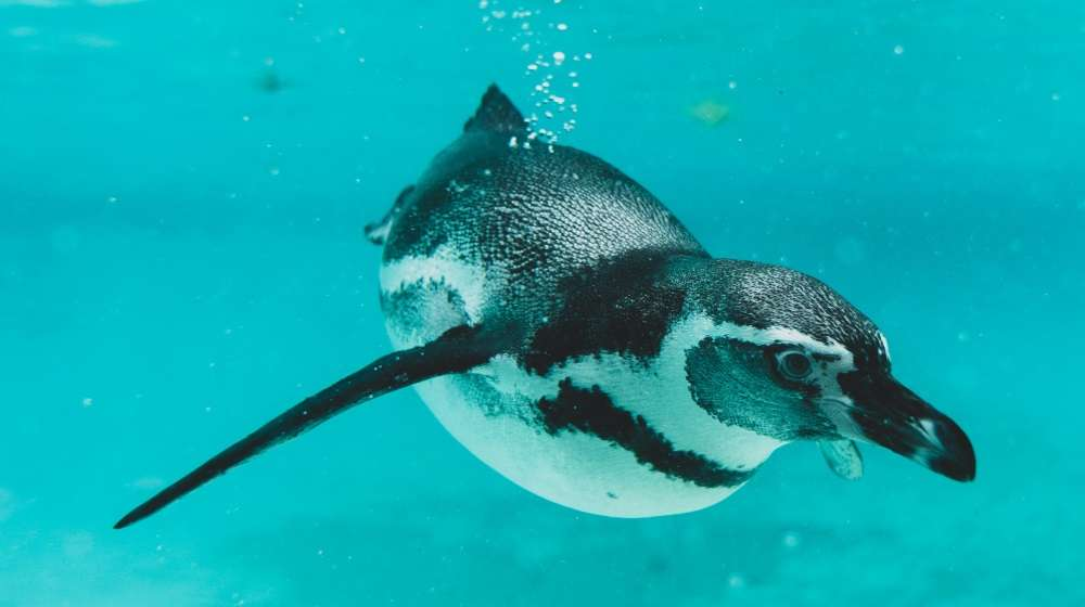 A Humboldt penguin under water at ZSL London Zoo